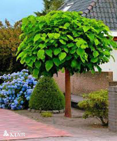 trompetenbaum c25 10 12 cm hochstamm. Black Bedroom Furniture Sets. Home Design Ideas